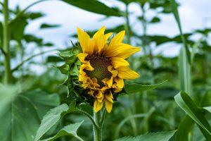 Sunflower Love (Digital Download)