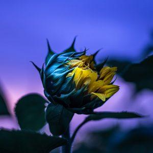 Sunflower Love at Sunset
